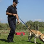 A golden labrador being trained in a field with a police handler